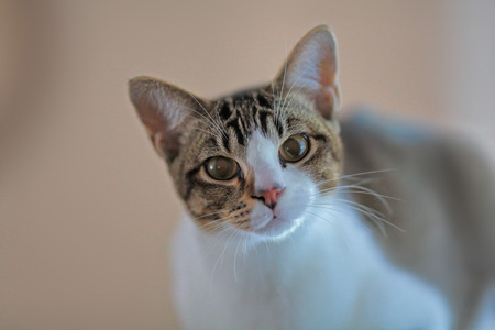 inquisitively: Portrait of young domestic cat in soft colours looking inquisitively at camera.