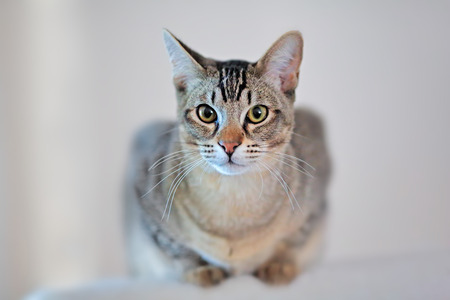 highkey: Young, domestic tabby cat looking at camera.  Thin depth-of-field has only eyes in focus, and photo is processed as slightly high-key for washed-out background