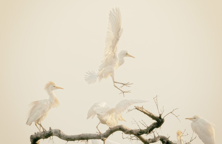 roosting: White herons (cattle egrets) leaving the top of their roosting tree at very first light.  The soft colours make this suitable for a background Stock Photo