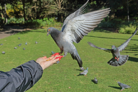 trusting: Pigeons in the park - some eating peanuts from a ladys hand