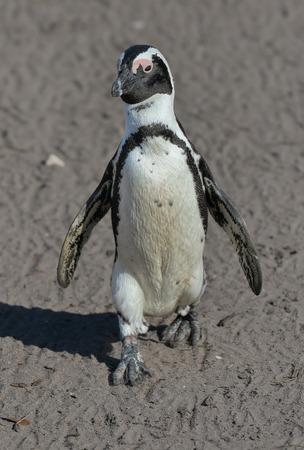 strutting: Penguin (African or Jackass Penguin) strutting down shore line