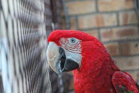 caged: Portrait of scarlet macaw bird in cage, showing red plumage and huge beak