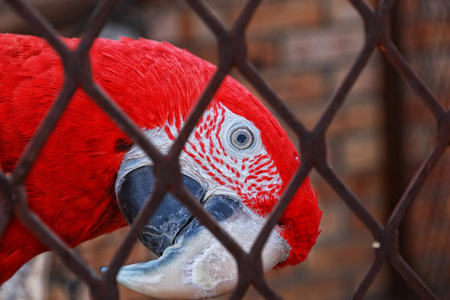 inquisitively: Bird (scarlet macaw) peering inquisitively out of cage