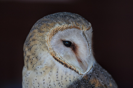 observant: Portrait of barn-owl, showing just one eye and soft, delicate plumage