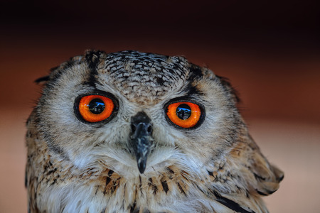 observant: Portrait of an owl with strong orange eyes staring at camera Stock Photo