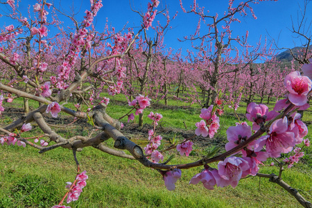 arbres fruitier: Deciduous fruit trees (nectarines) in full spring blossom in orchard