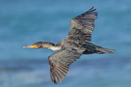 aerodynamic: Full-frame view of a cormorant flying above the sea showing detail of the back