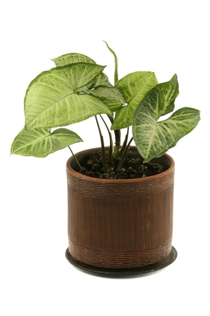 Syngonium Schott in a ceramic pot are isolated on a white background  Stock Photo