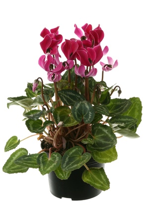 Cyclamen flowerpot over white background