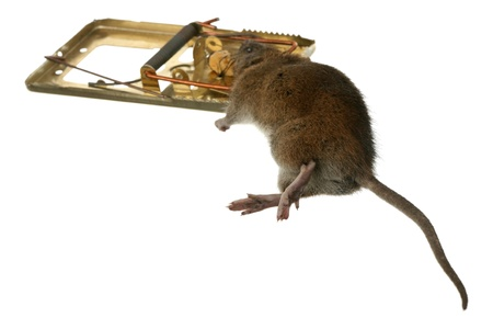 The trap has worked - dead rat in a mousetrap  photo