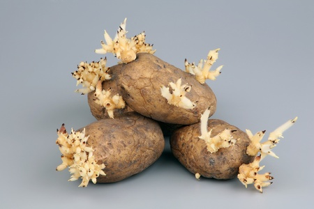 The sprouted tubers of a potato on a grey background  photo