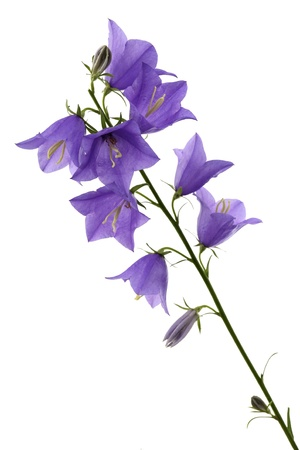 Bellflower it is isolated on a white background  Stock Photo