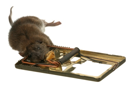 The trap has worked - dead rat in a mousetrap