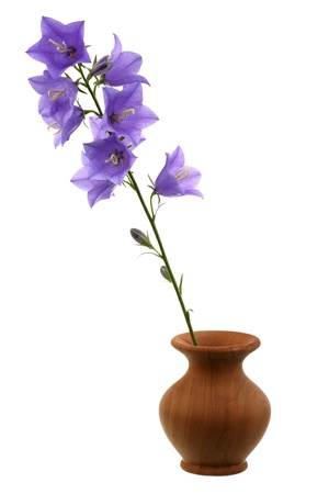 Bellflower in a vase it is isolated on a white background  photo