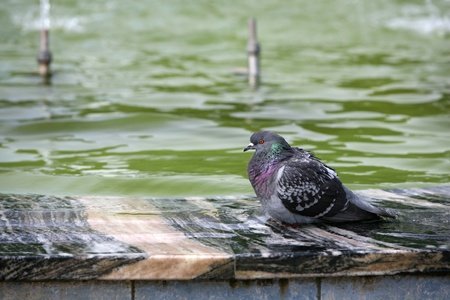 The blue rock pigeon sits at a fountain  photo