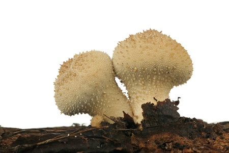Puffballs on a rotten tree, isolated on a white background  Stock Photo