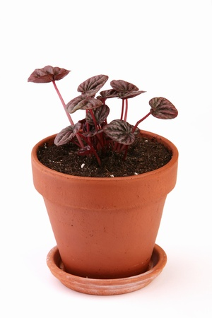 Peperomia caperata in a clay pot on a white background