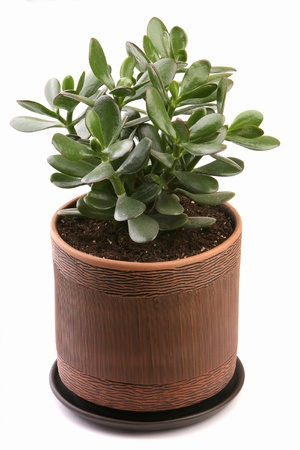 crassula ovata: Crassula ovata in a clay pot on a white background