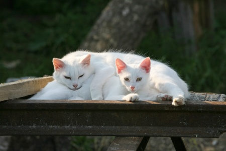 in somnolence: Two white cats sleep in decline beams