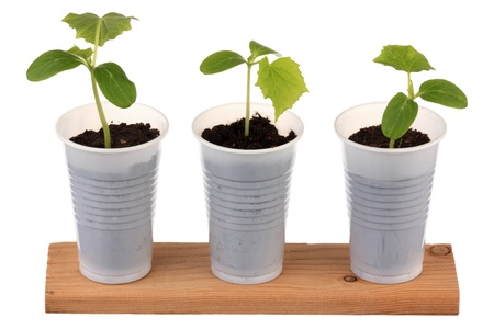Three young fresh seedling stands in plastic pots photo