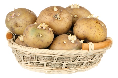 full willow: Potatoes with sprouts in a basket over white background