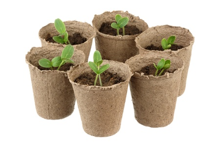 Six young fresh seedling stands in plastic pots  Stock Photo