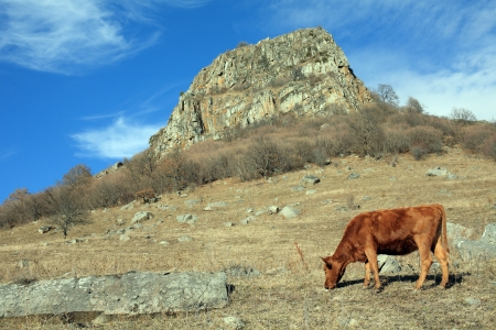 Cow on a mountain pasture, Russia  photo