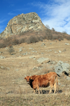 Cow in the late of autumn