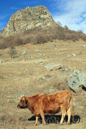 Cow on an autumn pasture, Northern Caucasia - Russia