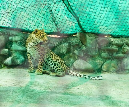 Indian Leopard or Panthera pardus fusca sitting with turned face and opened mouth on concrete floor in chhatbir zoo, India