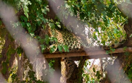Leopard or Panther sitting on edge of the roof beneath the tree covered with green leaves in chhatbir zoo, India. Indian wild life animal