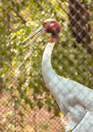 Sarus crane bird with long beak watching outside the cage in chhatbir zoo, India. Wildlife bird