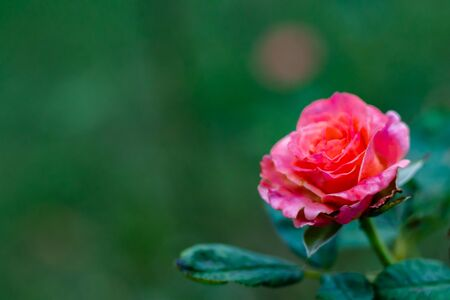 pink rose in a garden with copy space. rose day and young concept