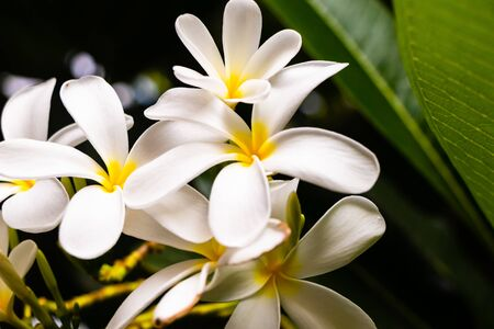 macro photography of beautiful plumeria white flowers over blurred leafy background, nature and beauty concept