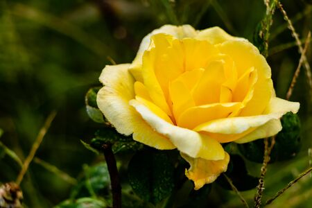 macro photography of yellow rose flower against blurry leaves and grass background. nature and dark concept