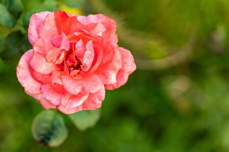 macro shot of beautiful peach rose in front of blurred background. natural background