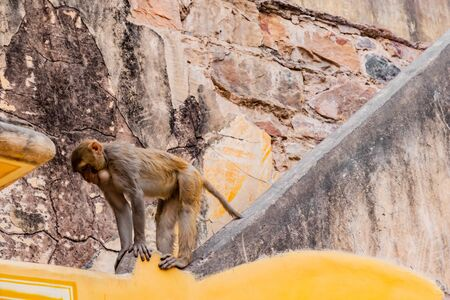 A Rhesus monkey on the top of stair case with stone wall in the background and protruded neck having engulfed food in it