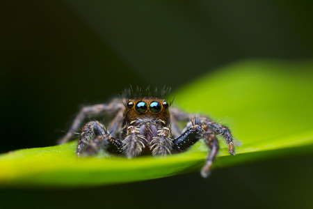Jumping Spider on leaf photo