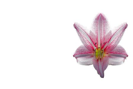 spacing: amaryllis flower on white background,spacing,caption