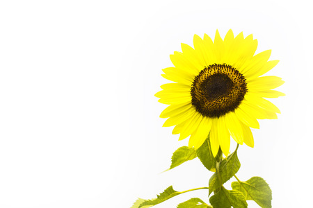 spacing: sunflower on white background, isolated flower with spacing for caption