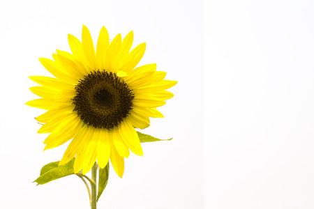 bijschrift: zonnebloem op een witte achtergrond, geïsoleerde bloem met afstand voor titel