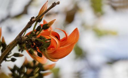 thani: Orange Bastard Teak in the jungle, Symbol Flower of Udon thani Stock Photo