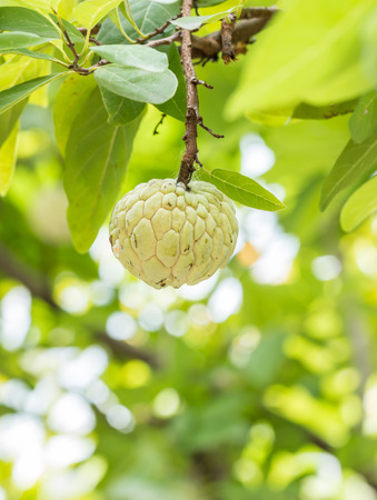 annona squamosa: Custard apple or Sugar apple or Annona squamosa Linn. growing on a tree with bokeh blur of bright colors