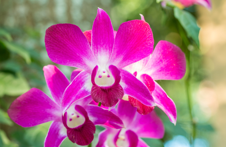 purple orchid: Dendrobium sonia orchid, purple orchid in a garden with green bokeh background. Stock Photo