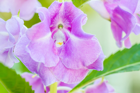 impatiens: Macro image, Purple Impatiens balsamina Garden Balsam in soft color and soft blurred style. Stock Photo