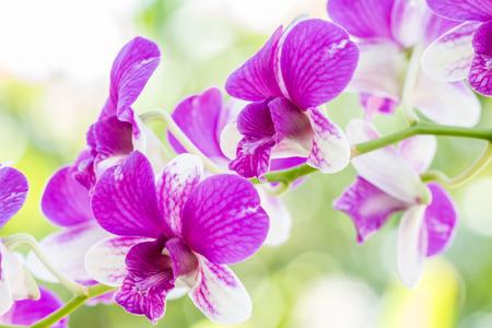 デンドロビウム ソニア蘭、庭に紫の蘭。 写真素材
