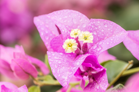 color bougainvillea: Purple bougainvillea flowers with water droplets, in soft color and soft blurred style, in blurred background. Stock Photo