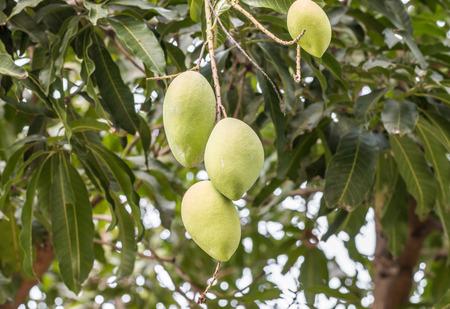 Green mango on tree in plantation, in Thailand.