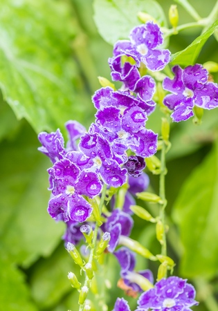 dewdrop: Purple flower, Golden Dewdrop, Pigeon Berry, Sky Flower (Duranta erecta L.) with drops of water, on green leaves background.