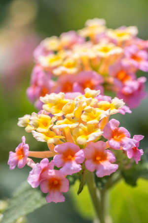 l natural: Colorful flower, Lantana, Wild sage, Cloth of gold (Lantana camara L.) with natural blurred background.  Macro.